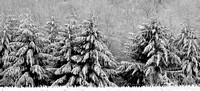 Snowy Pines (B&W)  OPEN EDITION
