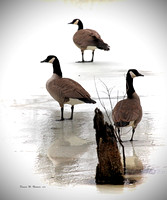 Geese On Ice.   OPEN EDITION