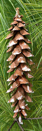Large Pine Cone.   OPEN EDITION
